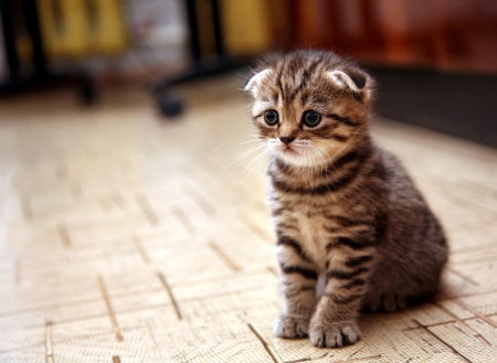 lop eared: Curious striped scottish fold kitten Stock Photo