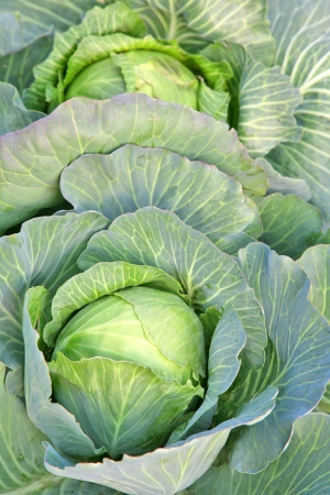 green cabbage: Autumn harvest of the cabbage