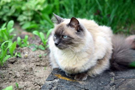 Beautiful balinese cat in the summer garden Stok Fotoğraf