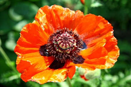 Beautiful open red poppy photo