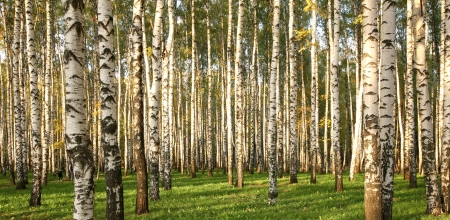 Birch Grove in early autumn  photo