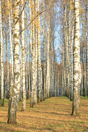 Autumn birch grove in sunlight photo