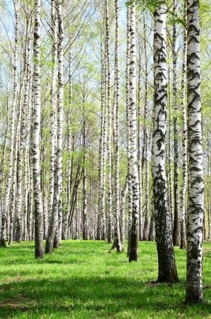 Birch Grove in sunny spring day
