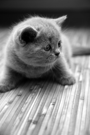 Cute british kitten photo