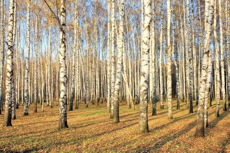 Birch grove in october photo