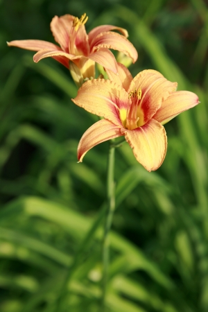 pestil: Lilies in the summer garden