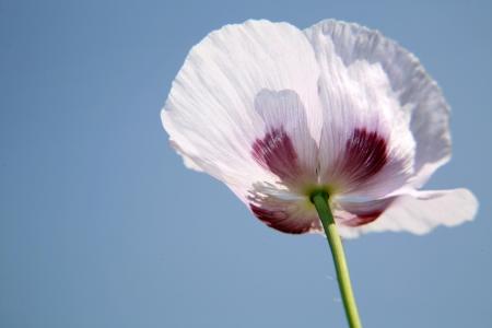 Poppy on blue sky in sunlight photo