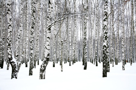 black and white forest: Winter birch grove