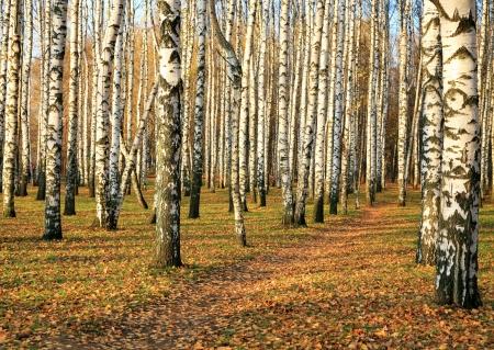 10 月秋のバーチ グローブ経路 写真素材