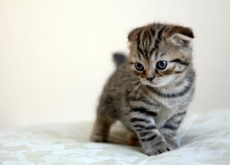 スコティッシュフォールド子猫ゲーム
