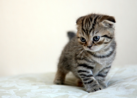 Scottish fold kitten in game