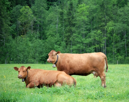 Two alpine cows on green grass in Switzerland