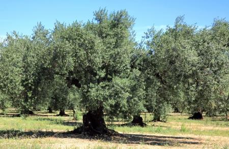 オリーブの木グローブ 写真素材