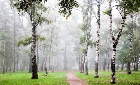 Morning birch grove in deep autumn fog photo