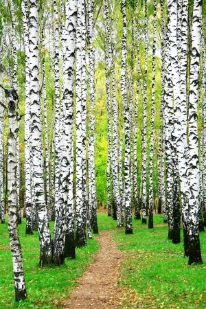 秋のバーチ グローブ経路 写真素材