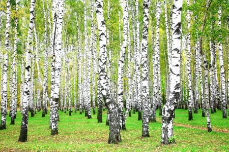 birch tree: September autumn birch grove