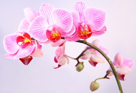 Pink streaked orchid flower Stock Photo