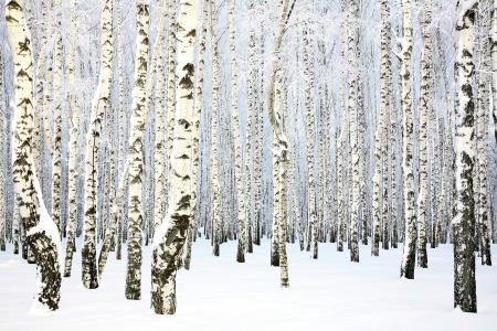 ロシアの冬 - バーチ グローブ 写真素材
