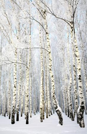 Russian winter - Birch Grove on blue sky background photo