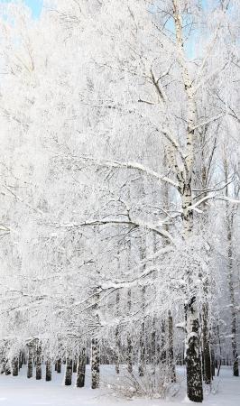 Winter Birch Grove on blue sky background photo