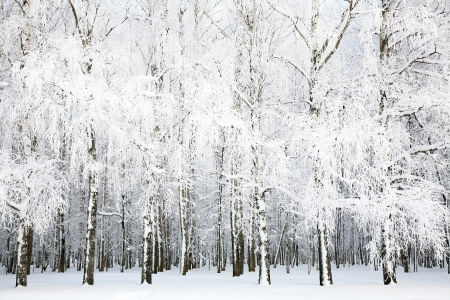 winter forest: Russian winter in january