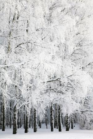 Russian winter in Birch Grove photo