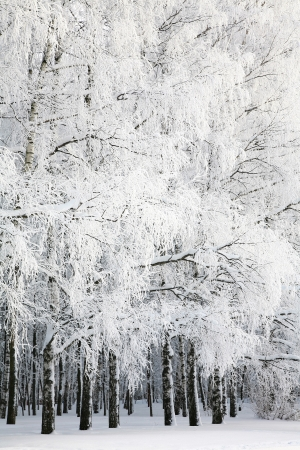 winter forest: Russian winter in Birch Grove