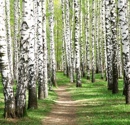 birch bark: Spring in birch grove