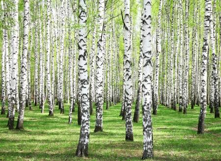 birch bark: First spring greens in birch grove