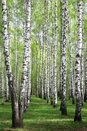 Spring greens in birch grove photo