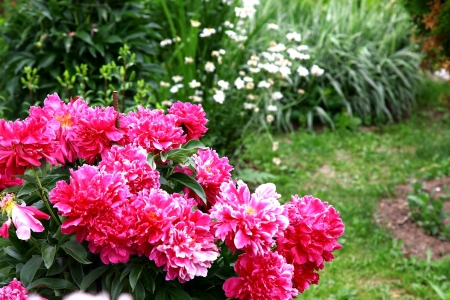 Bouquet of fresh pink peonies in summer garden