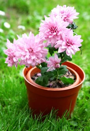 japanese chrysanthemum: Pink japanese chrysanthemum in pot on green grass