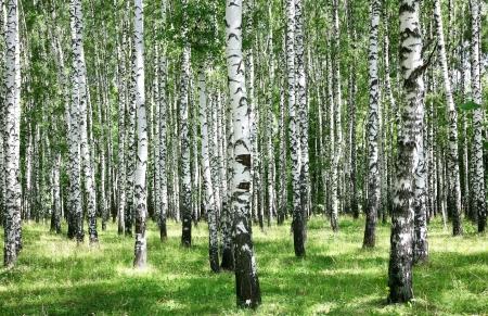 birch bark: Summer july view of birch grove in sunlight