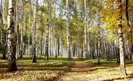 Pathway in ocober autumn sunny birch grove Stok Fotoğraf