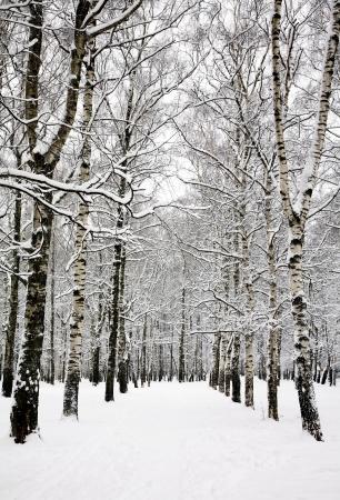 Birch grove in russian winter  photo