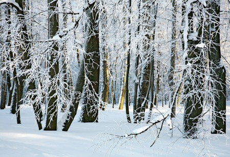 Winter sunny forest photo