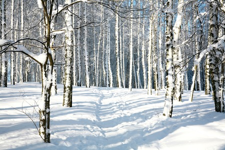 Footpath in sunny winter forest photo