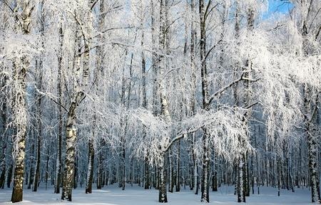 Russian winter in sunny birch grove photo