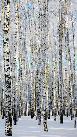 Winter birchwood photo