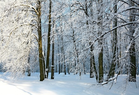 Winter sunny forest with covered snow branches photo
