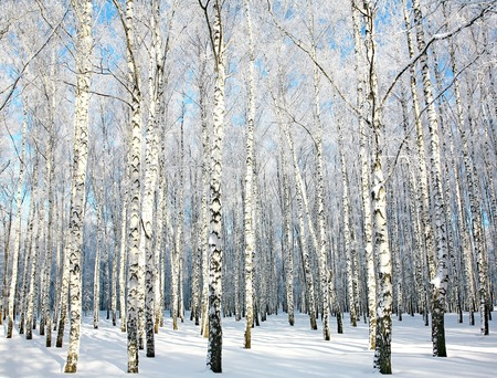 Beautiful sunny birch grove with covered snow branches Stok Fotoğraf