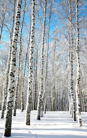 青い空に日当たりの良い白樺の森
