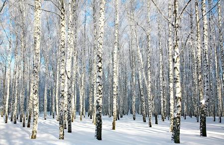 日光の下で覆われた雪枝と白樺の森
