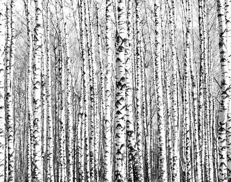 자작 나무 나무 검정색과 흰색의 트렁크