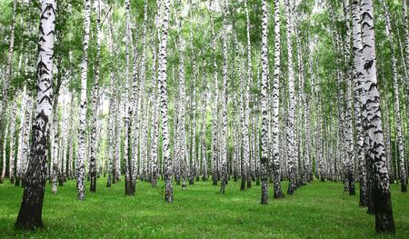 朝夏の白樺の森