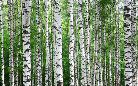 春の白樺の木の幹