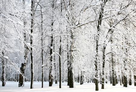 arboles blanco y negro: Ramos hermosos nevados de invierno ruso en la luz del sol Foto de archivo