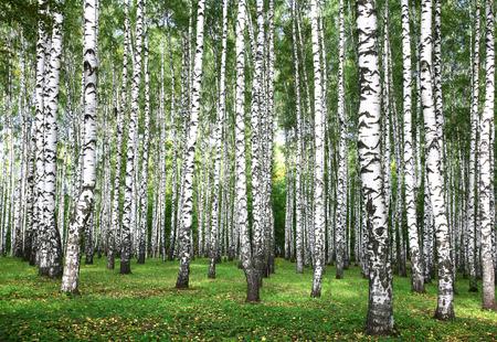 autumn trees in birch forest