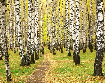 Autumn in birch grove Stok Fotoğraf