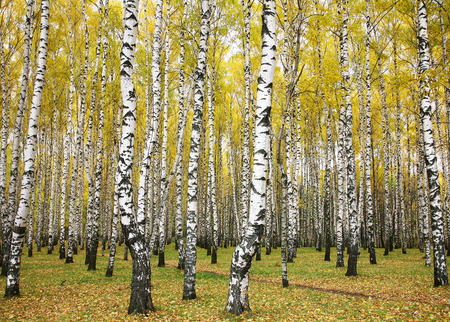 October autumn birch grove Stok Fotoğraf